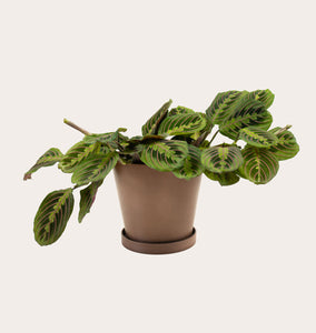 Maranta Red - Medium (coffee)