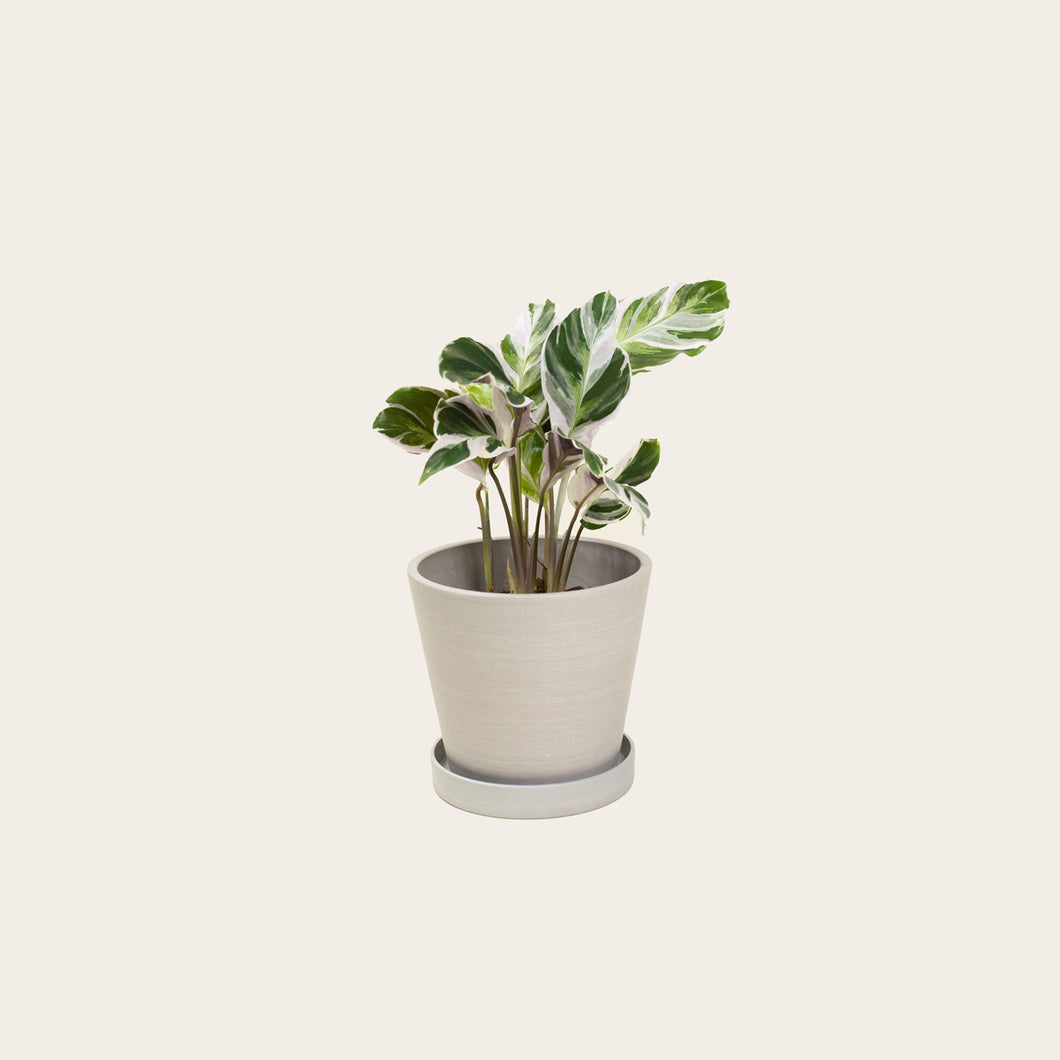 Calathea White Fusion - Small (chalk)