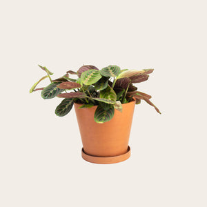 Maranta Red - Medium (terracotta)