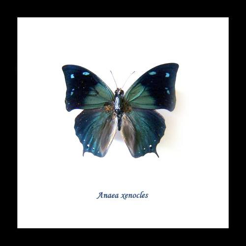 Real Blue Green Butterfly Anaea Xenocles 14.5 CM