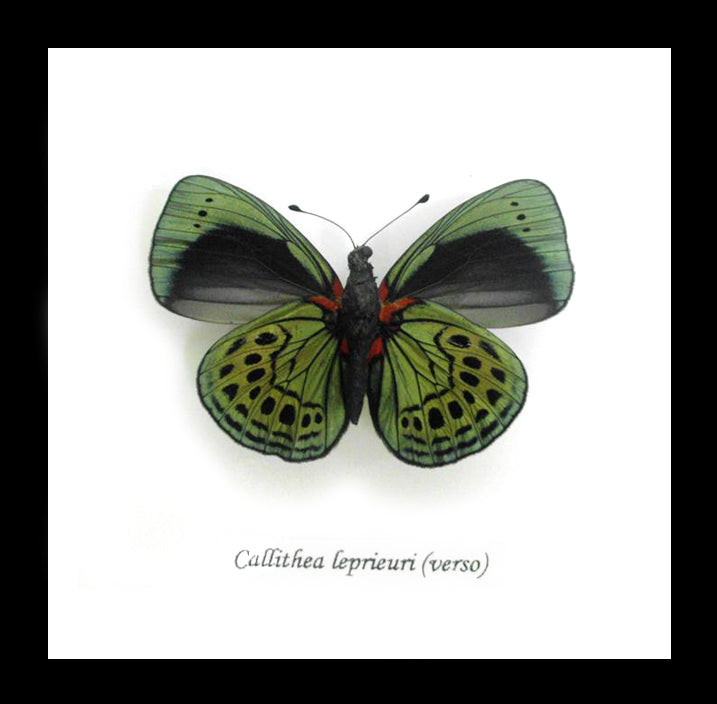 Real Green Butterfly Callithea Leprieuri (Verso) 14.5 CM