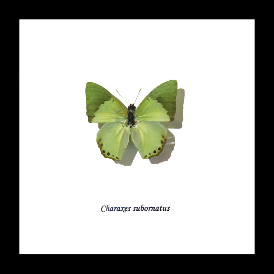 Real Green Butterfly Charaxes Subornatus 14.5 CM