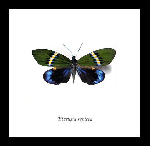 "Real Butterfly/Moth Specimen ""Eterusia Repleta"" 14.5 CM"