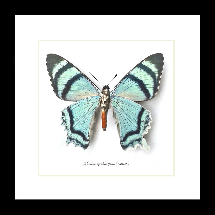 "Real Teal Butterfly/Moth Specimen ""Alcides agathrysus"" 16.5 CM"