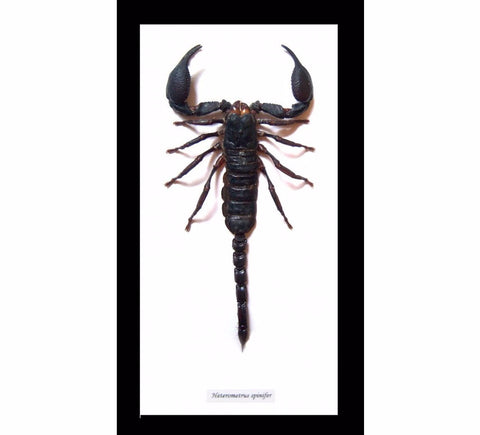 Extra Large Scorpion 28.5 CM