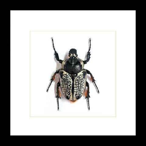 Black Goliath Beetle 18.5 CM