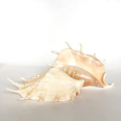 Large Polished Spider Conch Shell