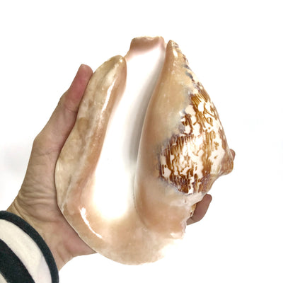 Pacific Conch Natural