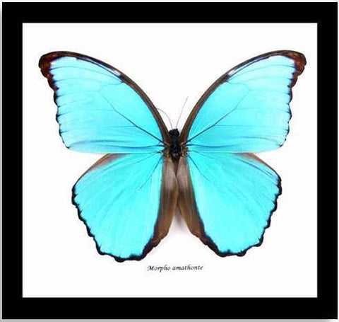 "Real Blue Butterfly ""Morpho Amathonte"" 20 CM"