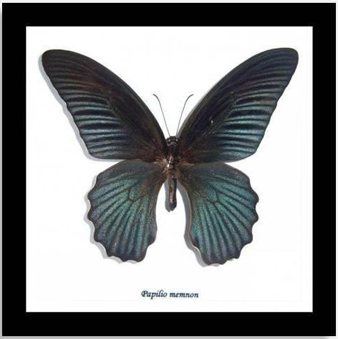 "Real Black Butterfly ""Papilio Memnon"" 16.5 CM"