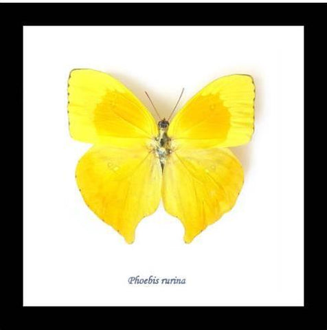 "Real Yellow Butterfly ""Phoebis Rurina"" 14.5 CM"