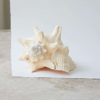 Polished Pink Queen Conch Shell