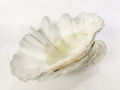 Real Giant Clamshell 38cm
