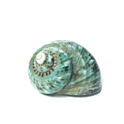 Polished Green Marbled Turban Shell