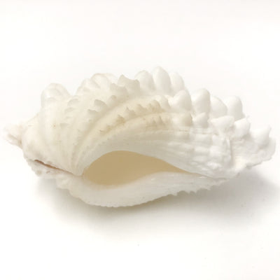 Real Giant Clamshell Double 10 CM C