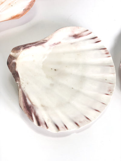 Polished Lions Paw Scallop Shell