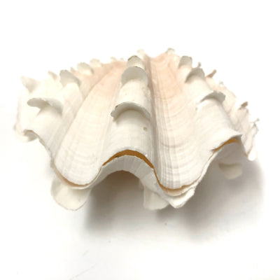 Real Giant Clamshell Double 10 CM A