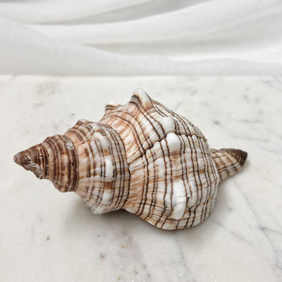Striped Fox Conch Polished Shell Set 5