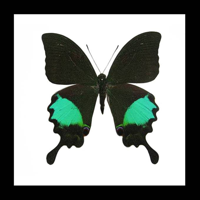 "Real Butterfly ""Papilio Paris"" 14.5cm - Sourceress The Store"
