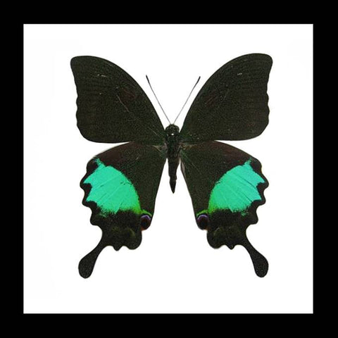"Real Butterfly ""Papilio Paris"" 14.5cm"