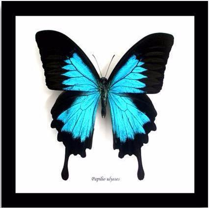 "Real Black Blue Butterfly ""Papilio Ulysses"" 16.5 CM"