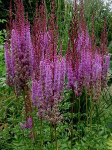 Astilbe Purple Candles 1g