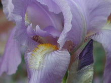 Load image into Gallery viewer, Iris e. Variegata