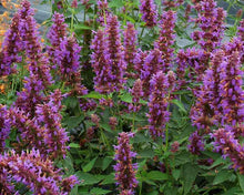 Load image into Gallery viewer, Agastache Blue Boa 1g