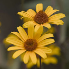 Load image into Gallery viewer, Heliopsis Summer Nights 1g