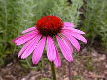 Load image into Gallery viewer, Echinacea Ruby Star 1g