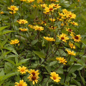 Heliopsis Summer Nights 1g
