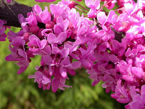 CERCIS CAN. `FOREST PANSY` ,