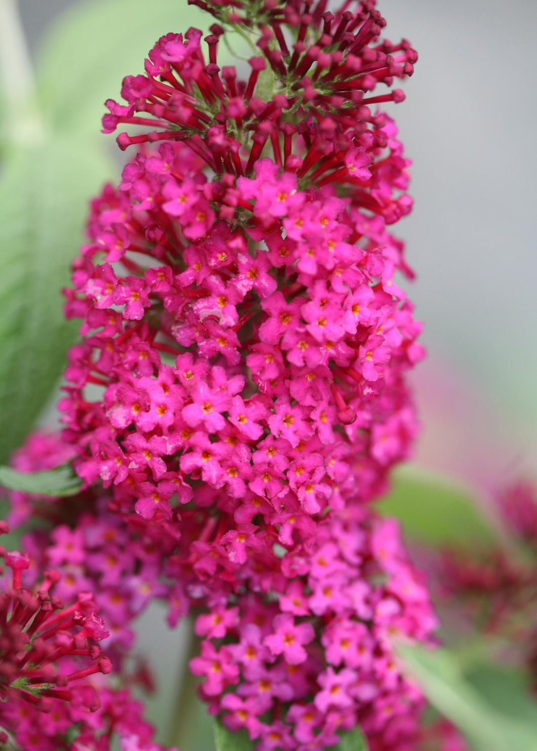 BUDDLEIA X `MISS MOLLY` 3g