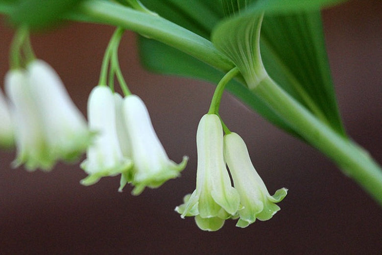 POLYGONATUM biflorum quart