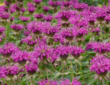 Load image into Gallery viewer, MONARDA Purple Rooster 1g