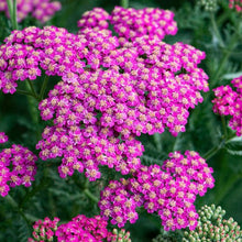 Load image into Gallery viewer, ACHILLEA mil. New Vintage Rose 1g