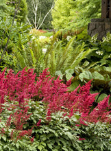 Load image into Gallery viewer, ASTILBE arendsii Fanal 1g