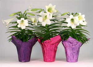 "6"" Easter Lily $9.99"