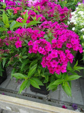 Load image into Gallery viewer, PHLOX paniculata Early Cerise 1g