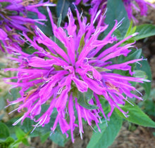 Load image into Gallery viewer, MONARDA Balmy Lilac 1g