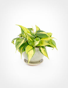 "4"" Brasil Philodendron"