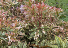 Load image into Gallery viewer, Pieris japonica Little Heath 2g