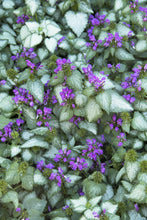 Load image into Gallery viewer, LAMIUM maculatum Purple Dragon quart