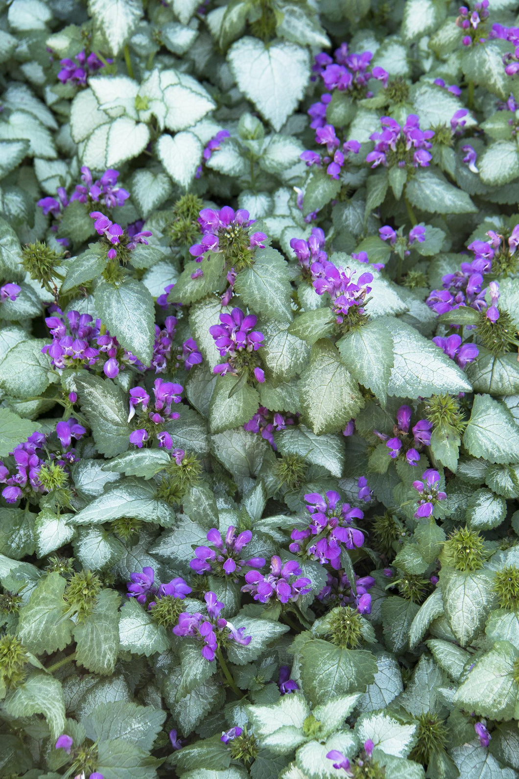 LAMIUM maculatum Purple Dragon quart