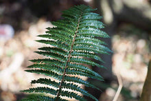 Load image into Gallery viewer, fern Polystichum polyblepharum quart