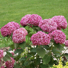 Load image into Gallery viewer, Hydrangea Arb. Invc Mini Mauvette 3g