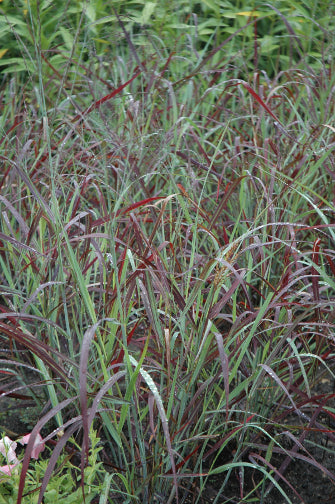 PANICUM RUBY RIBBONS 2g