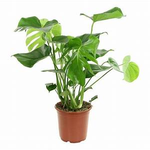 "6"" philodendron"
