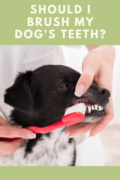 Should I brush my dog's teeth?