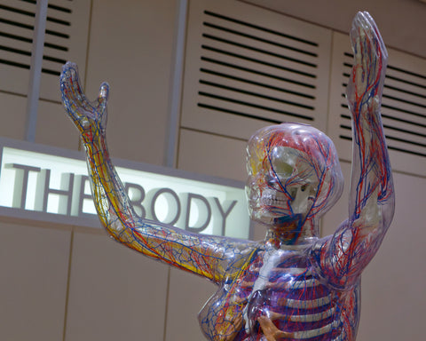 A museum exhibit showing a full size model of the endocannabinoid system in the human body.